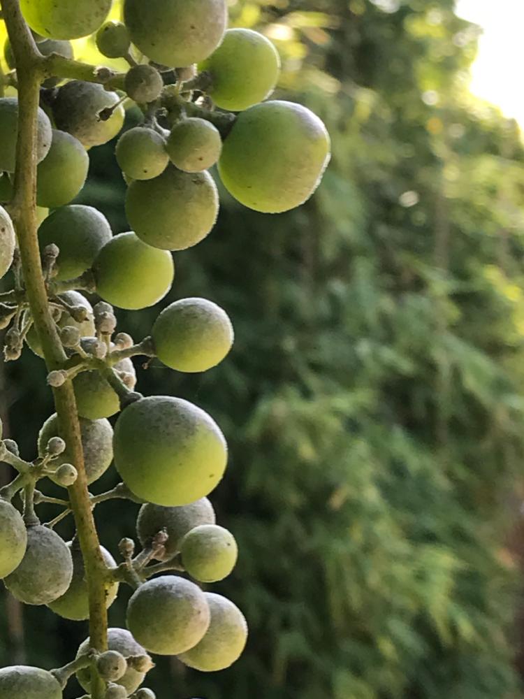 Weintrauben im August