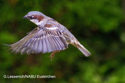 Der Haussperling im Siegesflug und  bundeweit der häufigste gesichtete Wintervogel