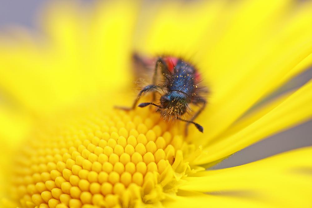 Zottiger Bienenkäfer