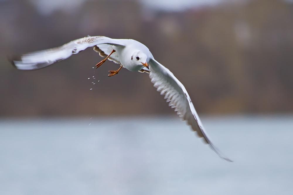Eine Lachmöve fliegt über den See