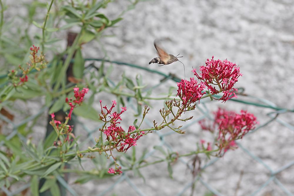 Taubenschwämzchen an Spornblume