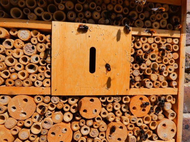 Foto: Die gehörnte Mauerbiene