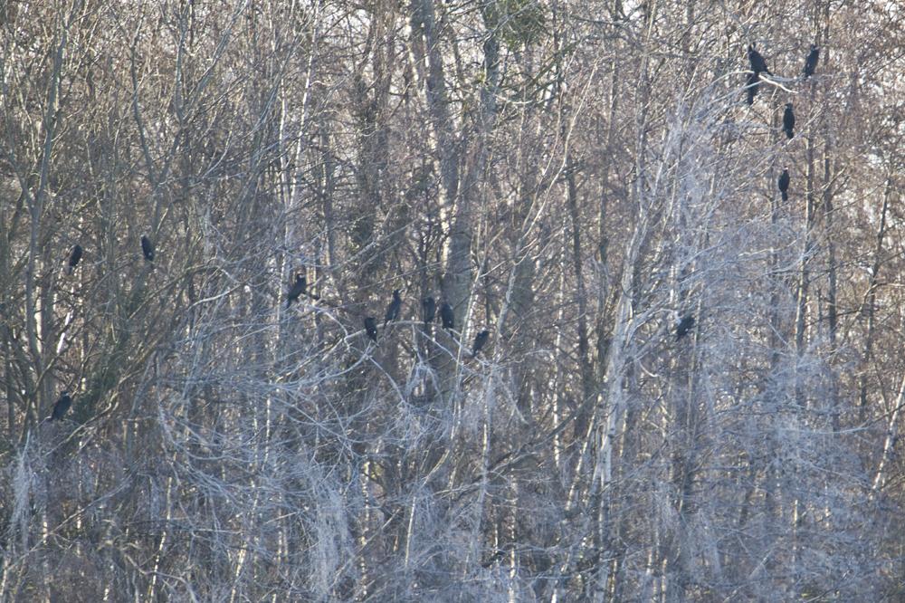 In ihren Rastbäumen saßen etliche Kormorane die in der Nähe auch eine Brutkolonie haben.