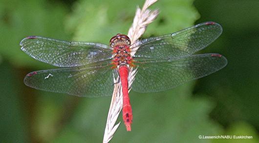 Die rote Heidelibelle  Foto: NABU/Günter Lessenich