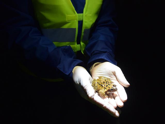 Ein Grasfrosch in den Händen von Tanja-Burggraf-Kuehl   Foto: Marion Zöller