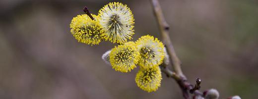Weidekätzchen sind im Frühjahr erste Nahrungsquelle für die Bienen  Foto: NABU/Günter Lessenich