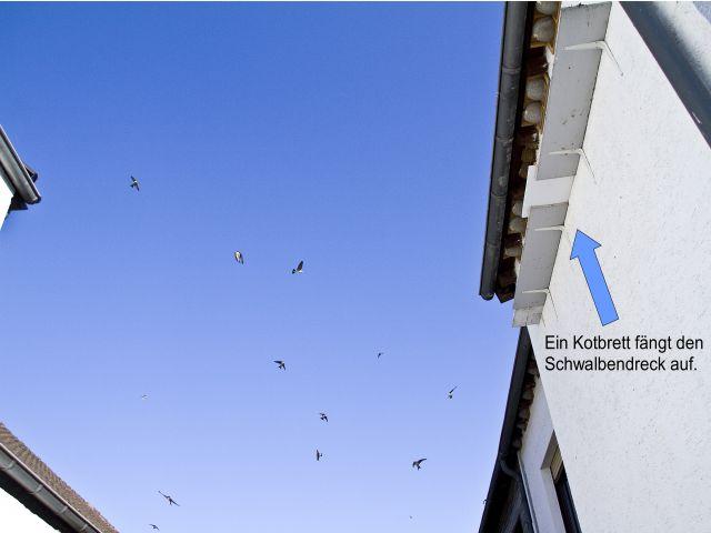 Bringen Sie am besten 60 cm unter den Nestern Kotbretter  an. Foto: NABU/Günter Lessenich
