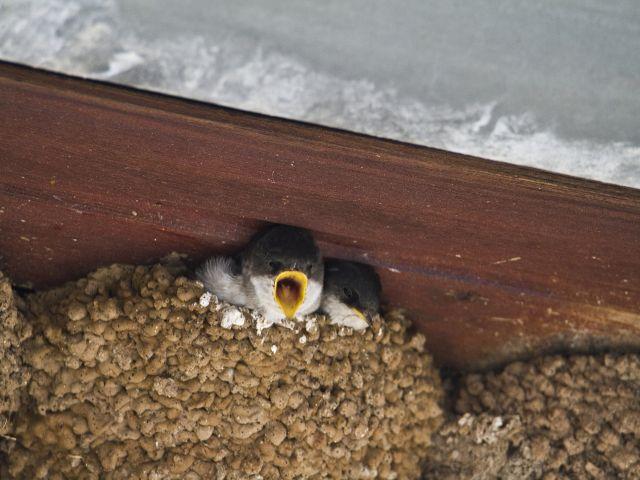 Junge Mehlschwalben im Nest  Foto: NABU/Günter Lessenich