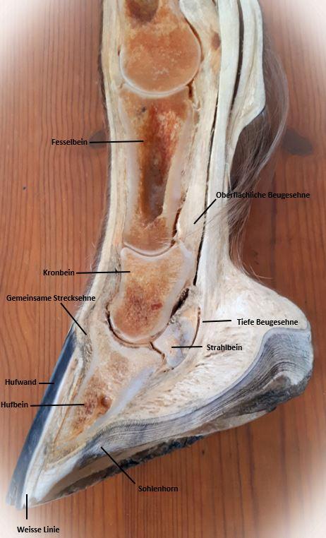 Die Zehenknochen eines Pferdes auf einen Blick