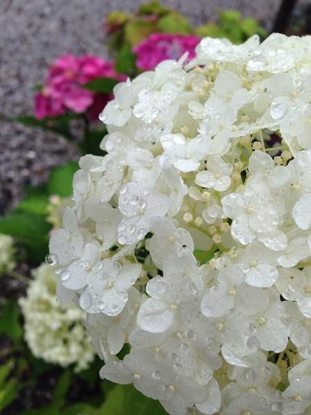 雨に濡れる白紫陽花(あじさい寺)