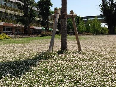 埼玉県庁裏手の岩垂草