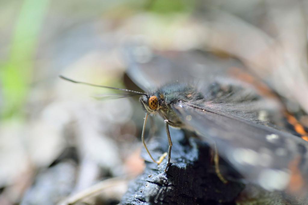 Thüringen 07.06.2014. Limenitis populi