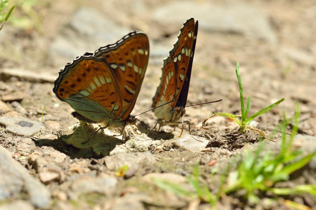 Thüringen 07.06.2014, Limenitis populi