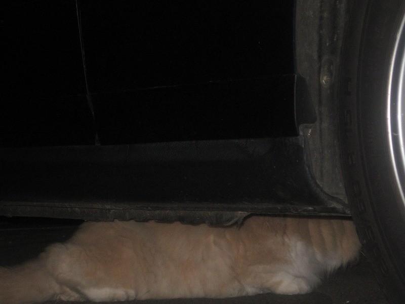 車の下に隠れる猫 ゴールデンレトリバーのようです。