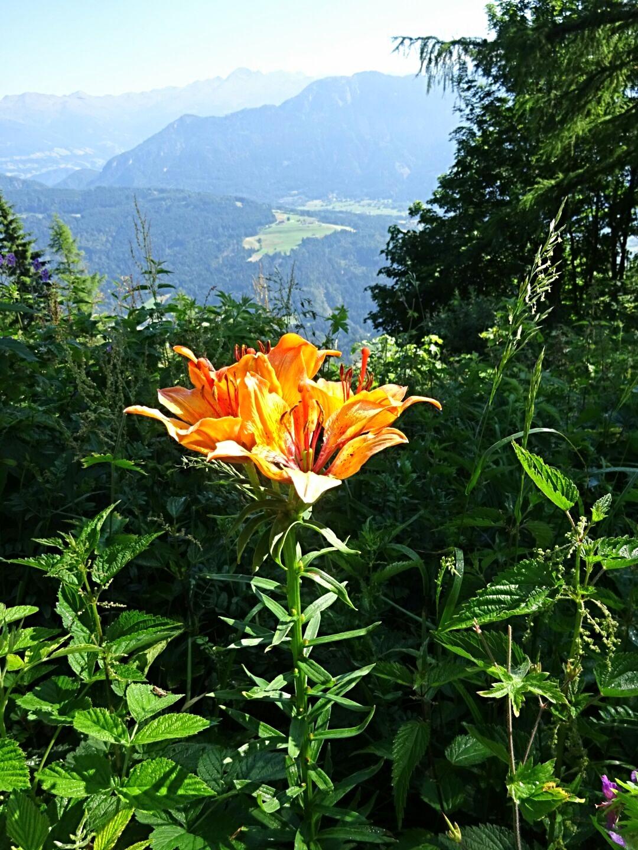 Feuerlilie - zu bewundern  auf der Mauthner Alm