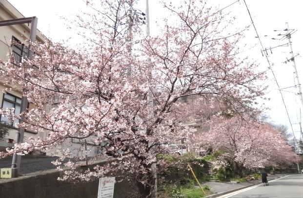 西大工町三島神社参道横の桜