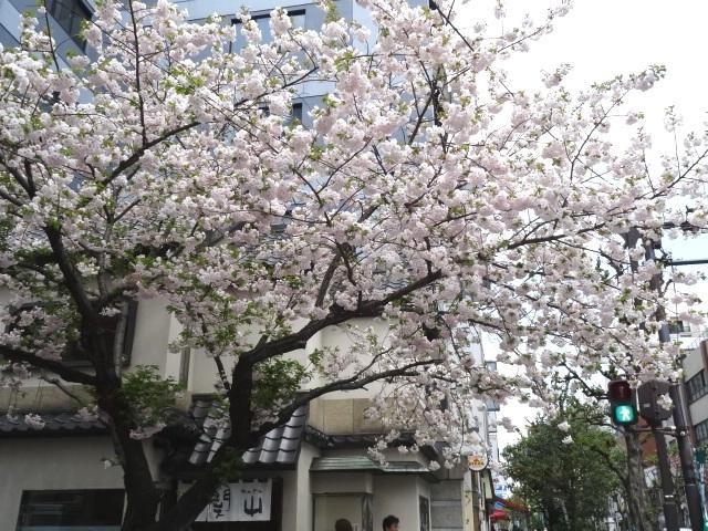 甘酒横町の桜、「青山桜」の札が下がっていました。