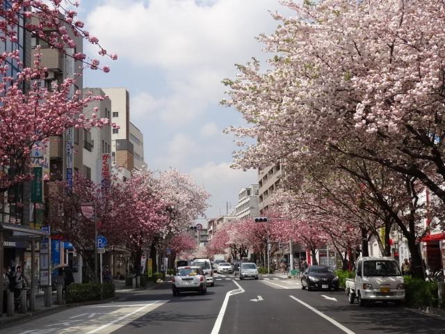 いや~素晴らしい桜並木