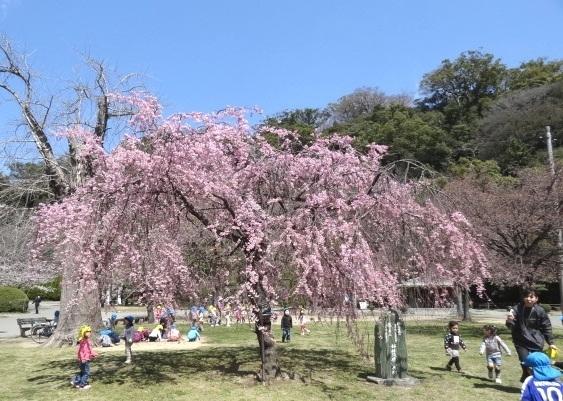 徳島城公園のしだれ桜