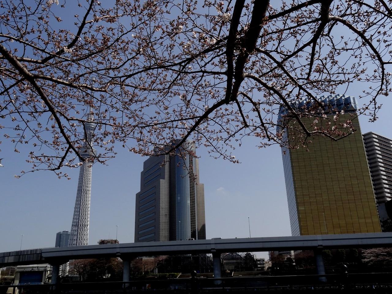 隅田公園の桜 / 東京スカイツリー、墨田区役所、アサヒビール本社