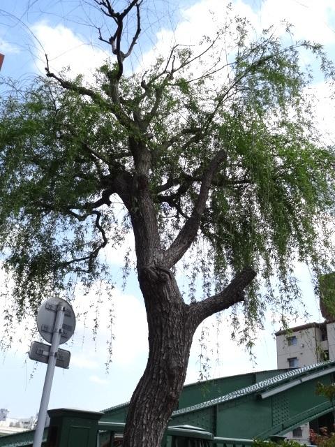 柳橋たもとに立つ、橋の名前の由来の一説となった柳の木