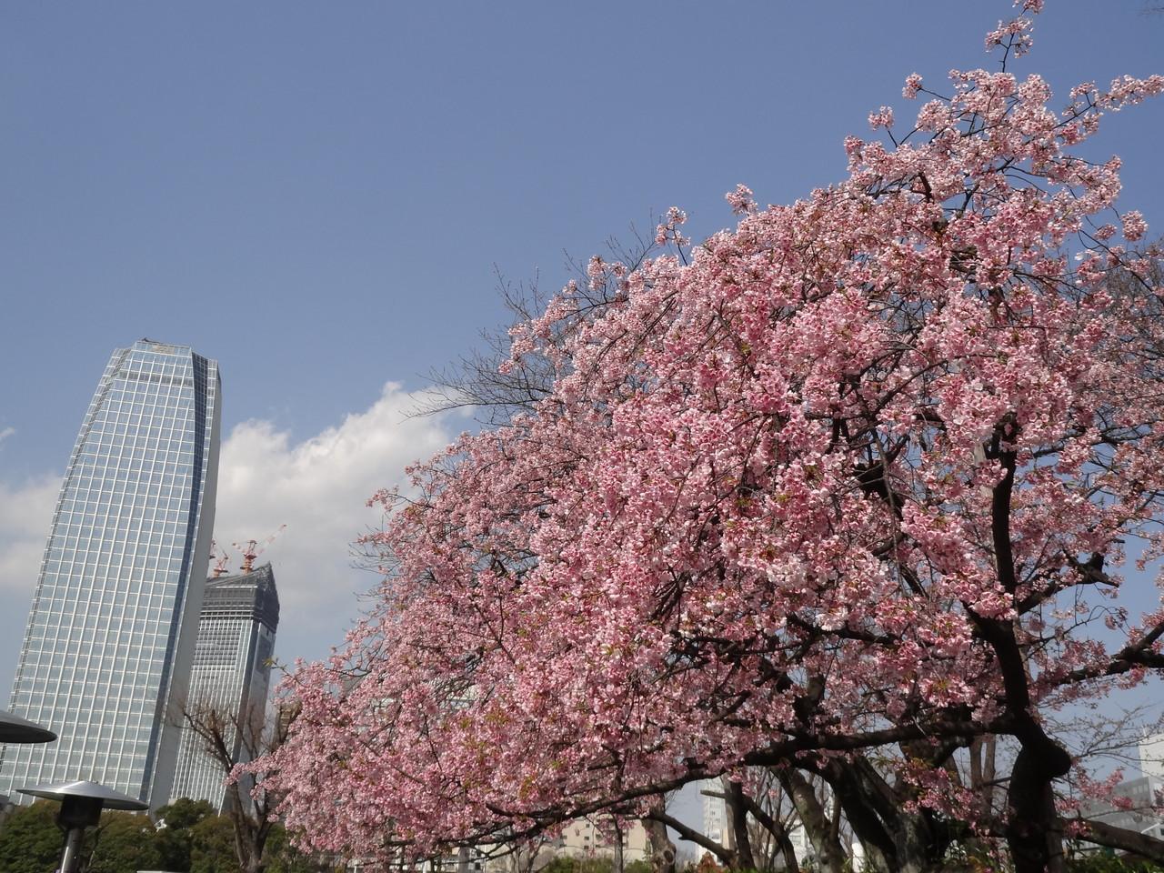 東京プリンスホテルの桜