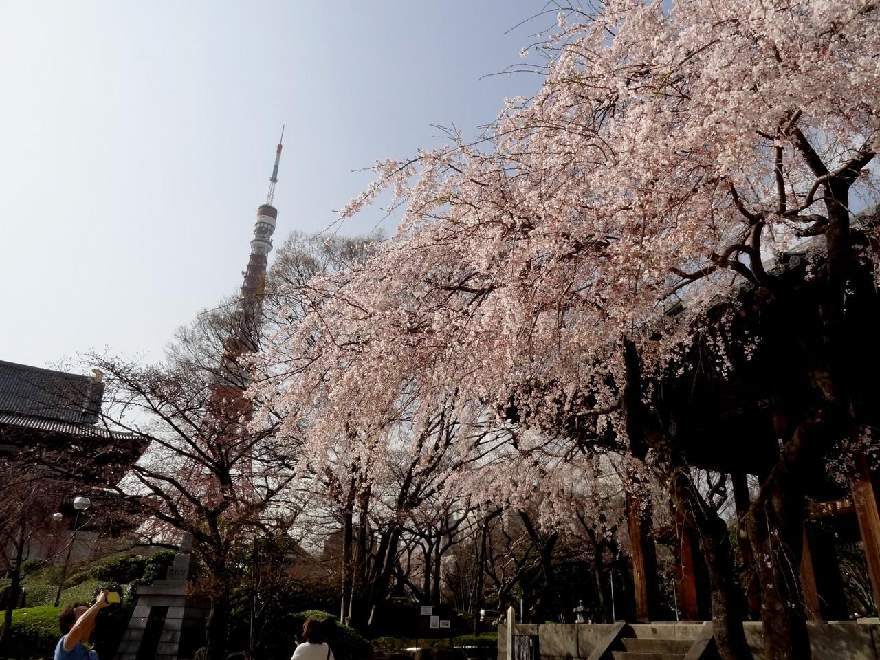増上寺の枝垂れ桜