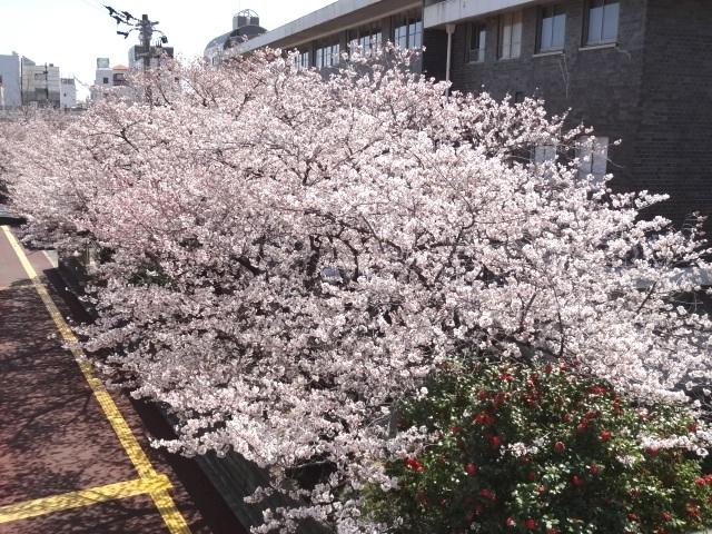徳島地方裁判所の桜