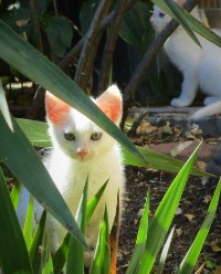 Weiße Kätzchen
