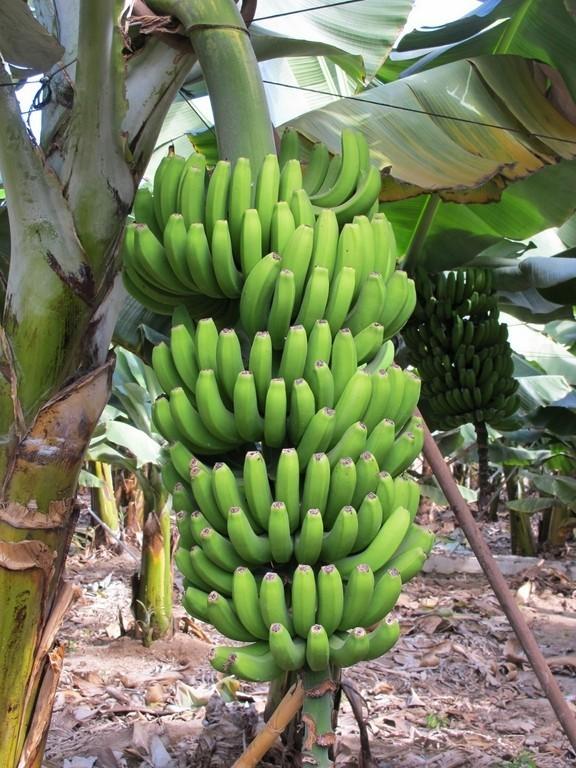 Allenthalben Bananenstauden