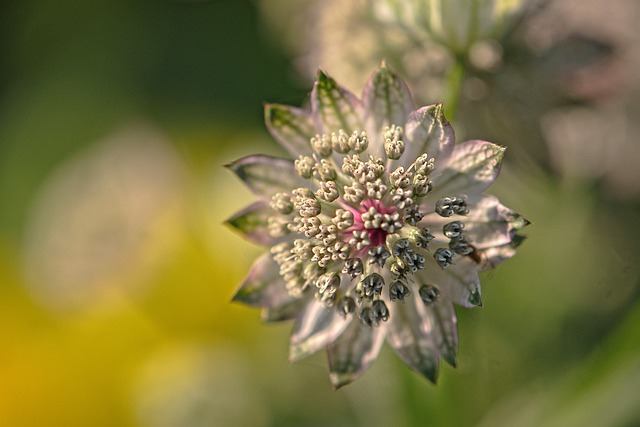 Astrantia: the flower of protection