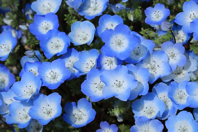 Nemophila: blue eyes