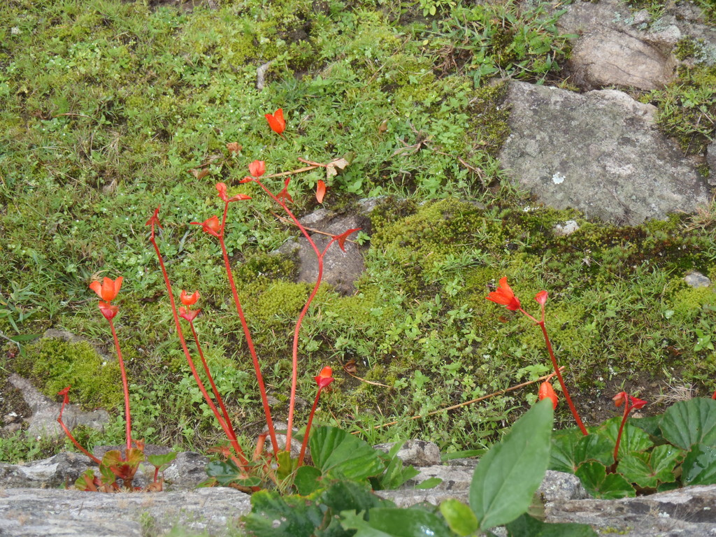 flor desconocida, Ruinas de Machu Picchu