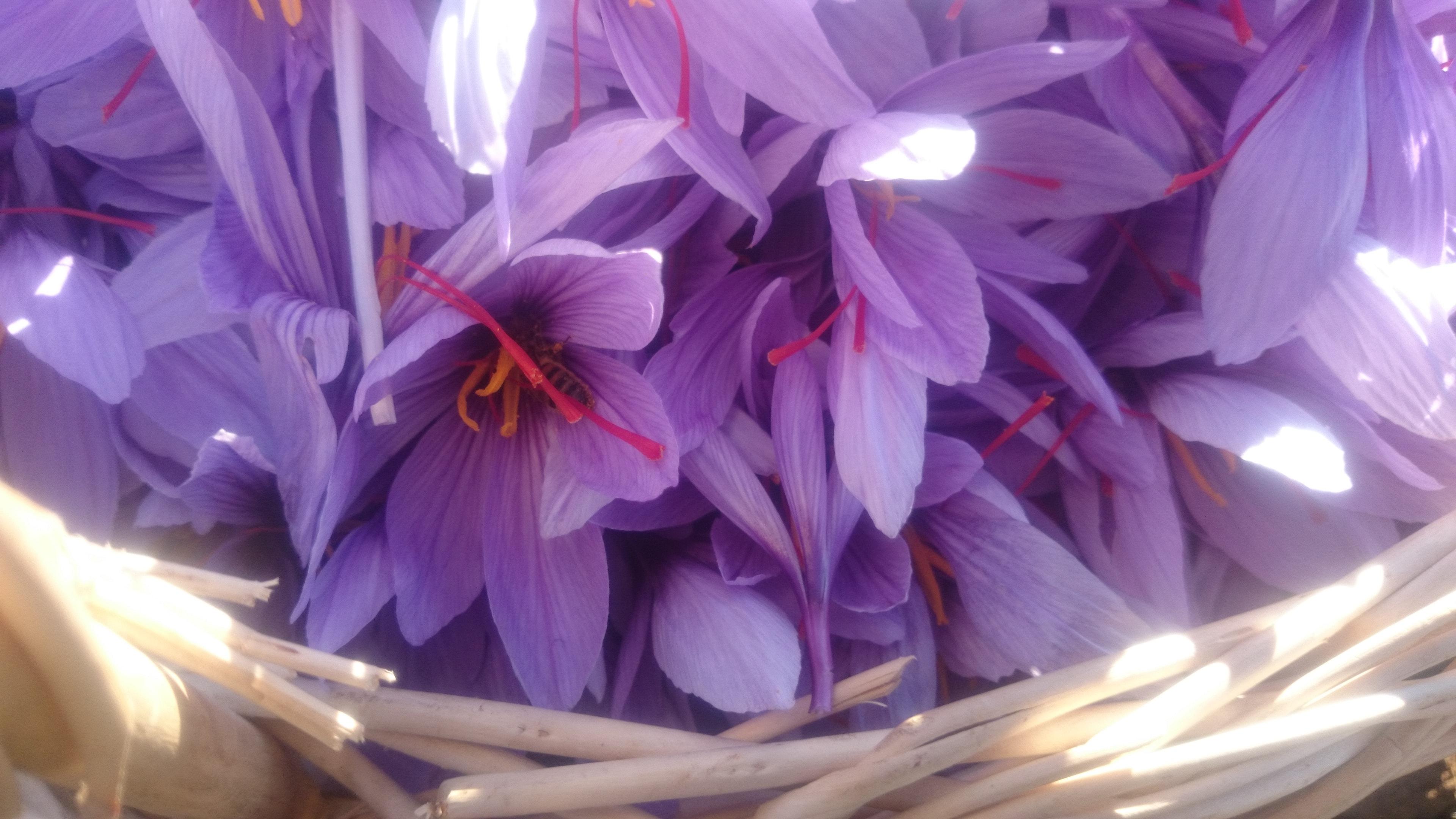 77e76549351d04 Organic bulbs - Saffron bulbs for sale (Crocus Sativus)