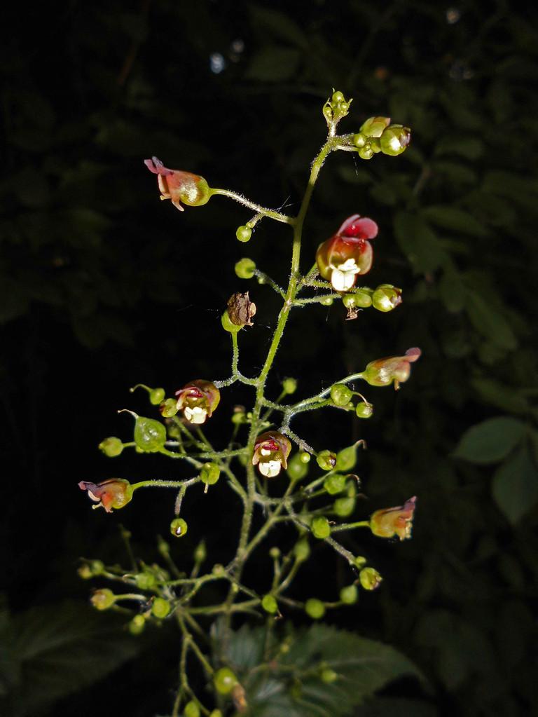 Blüten der Braunwurz