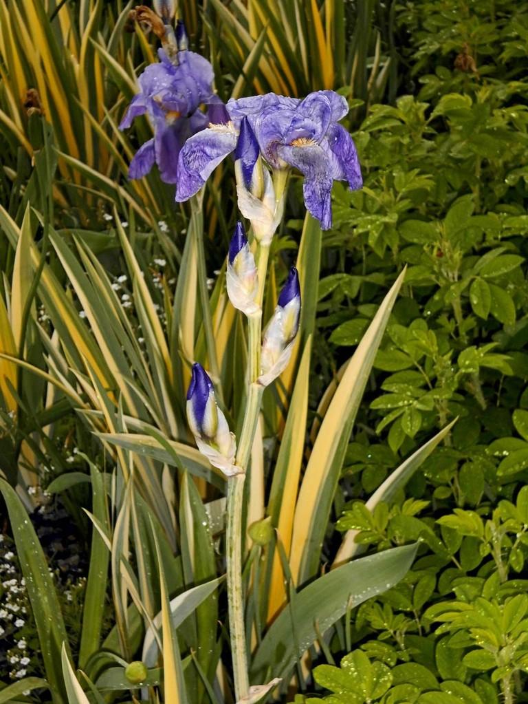 Gestreifte Iris