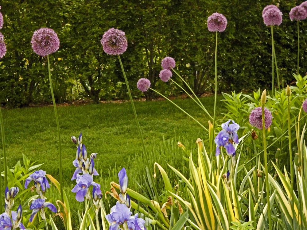 Allium - der neue Stern im Beet!