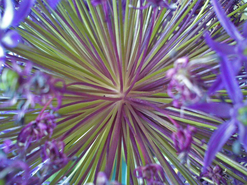 Das Allium-Universum