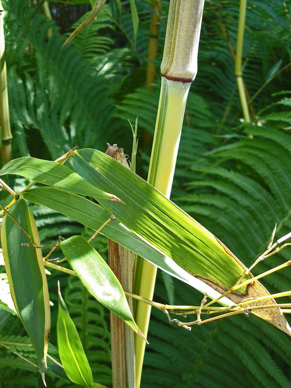 Bambus - Phyllostachys i.S.