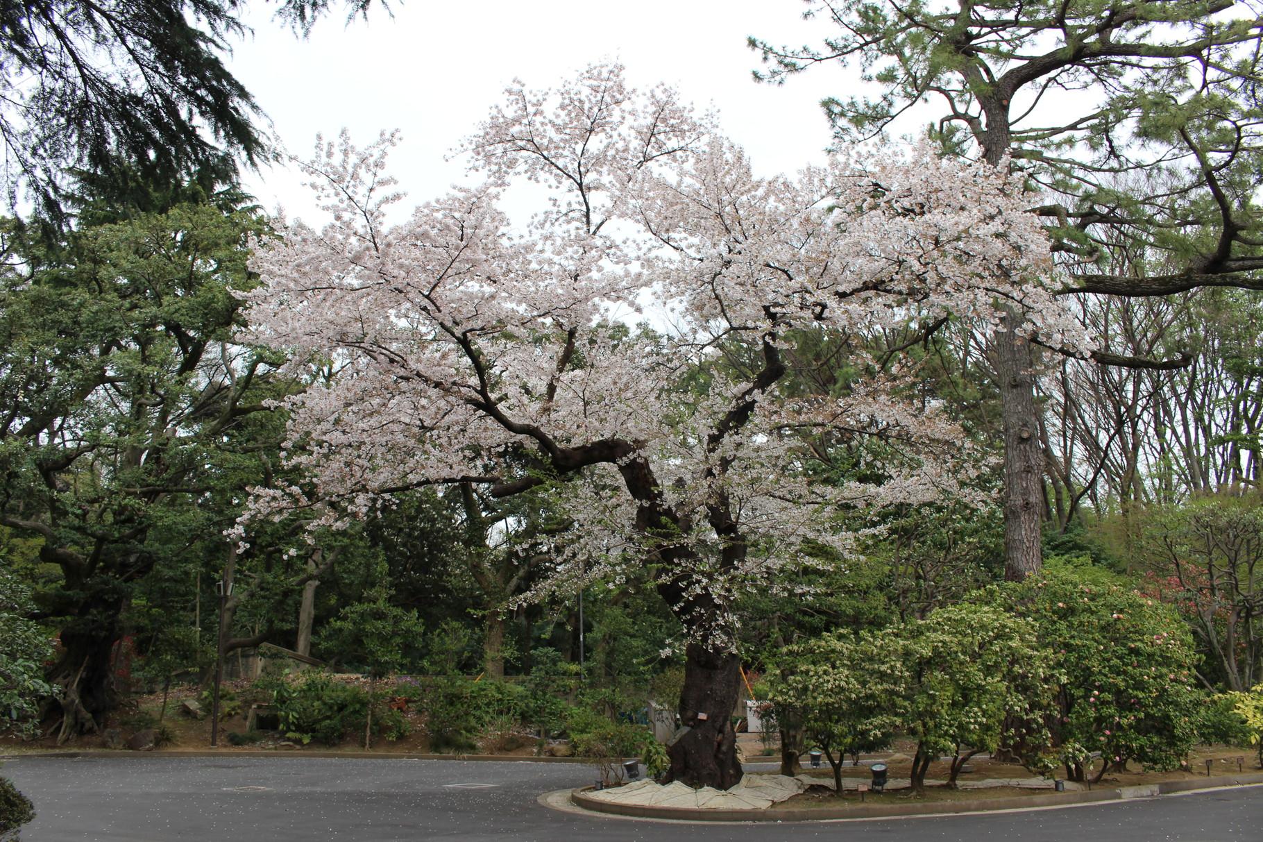 NPO法人藪会で携わった東京庭園美術館でサクラの経過観察
