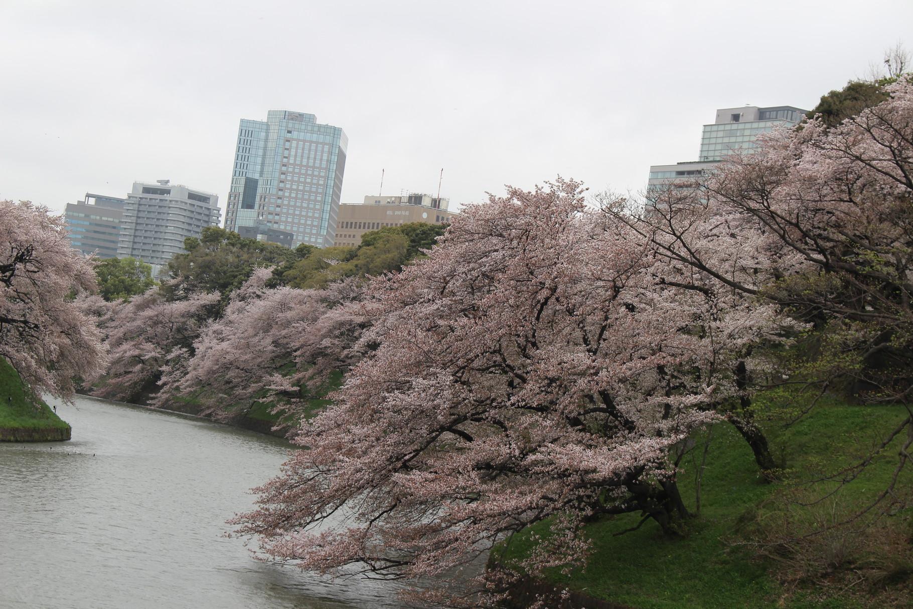 千代田区の千鳥ヶ淵の桜を見学