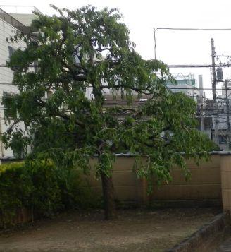 文京区にある本法寺様のハナモモの自然風剪定