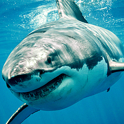 shark, great white shark, shark facts