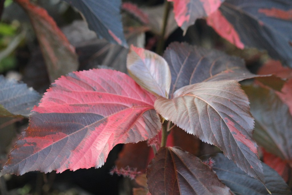 ACALYPHA FIRESTORM