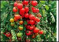 Zuckertraube, rote runde Früchte. Bild Reinsaat