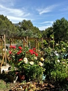 Late spring roses and herbs in a sun-drenched vegetable garden