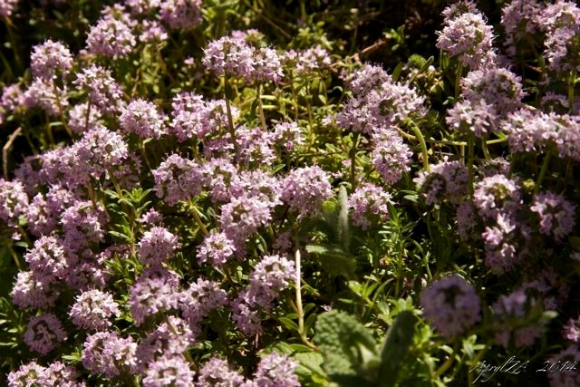 Wild thyme in bloom—what else can we grow to enjoy?