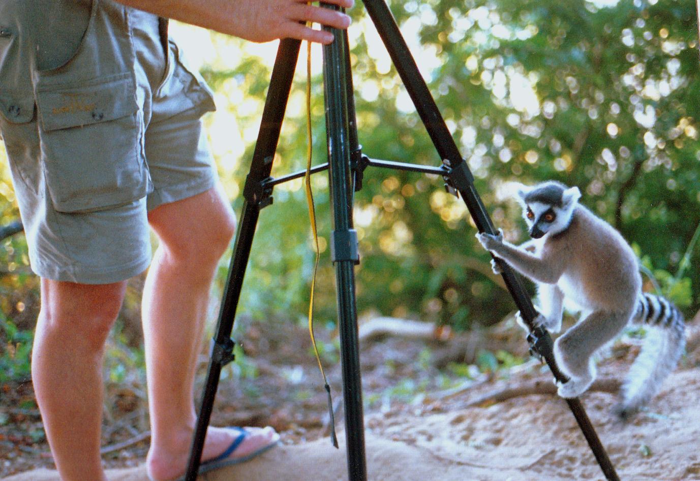 Neugierde der Makkis in Madagaskar