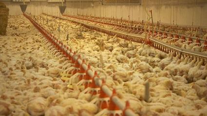 In diesem österreichischen Masthuhnbetrieb sind mehr als 40.000 Tiere untergebracht.