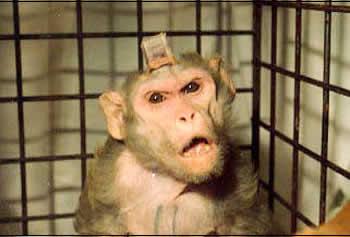 Affe mit implantierten Elektroden. Foto: PeTA